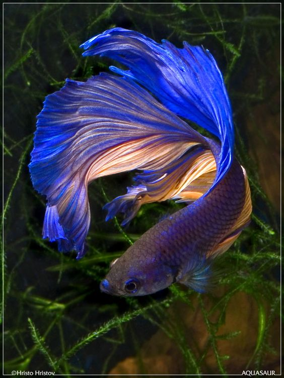 Beautiful siamese and dye my hair on pinterest for Betta fish tank size