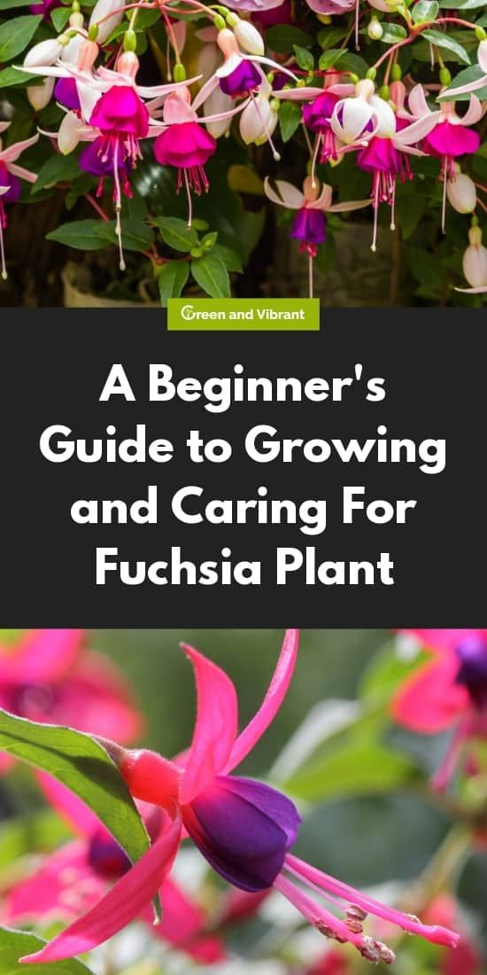 A Beginner S Guide To Growing And Caring For Fuchsia Plant Fuchsia Plant Fuchsia Plant Care Plants