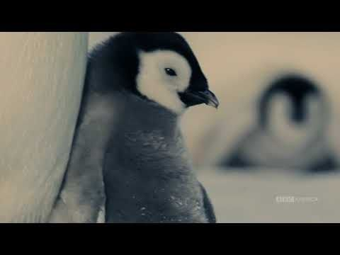 Watch Growing Up Penguin Dynasties Saturdays At 9pm Bbc America Penguins Bbc America Cute Penguins