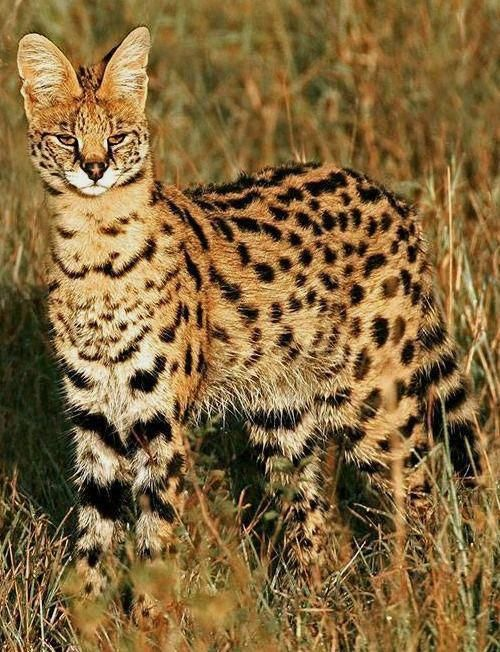 Cats In The Cradle Song Id 9127494255 Servalcats Serval Cats Herding Cats Cat Vs Dog