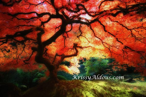 A fabulous view of a beautiful Japanese maple tree in the fall. This tree is absolutely magical.