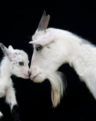 Adult and juvenile goat nose to nose