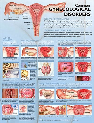 Anatomy of the vaginal