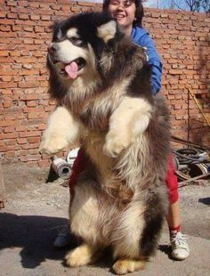 5 Dogs even bigger than thier owners