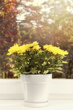 Indoor Mum Care: Growing Chrysanthemums Indoors Mums are common gift plants found year around, as they have been tricked into blooming by hormones or manipulation of light exposure. Chrysanthemum houseplants require lower light to force blooms. This article will help with keeping mums indoors.