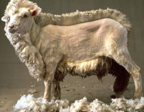 Half shorn sheep ... The amount of wool always amazes me. Love the llamas too!