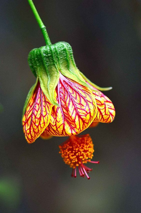 Abutilon is a large genus of flowering plants in the mallow family, Malvaceae. It is distributed throughout the tropics and subtropics of the Americas, Africa, Asia, and Australia. Bell shaped flower.:
