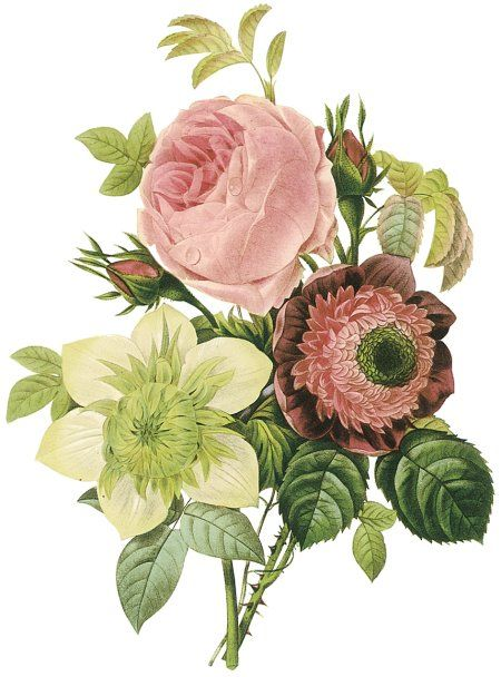 Pierre-Joseph Redoute (1759 1840): Rose and Clematis