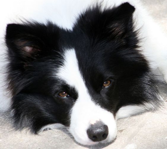 Border Collies.  My great grandma Wurster had one named Bootsy.  I'll never forget how smart that dog was.  When grandma would cry, Bootsy would put his front paws around her neck, lay his head on her shoulder and whimper.