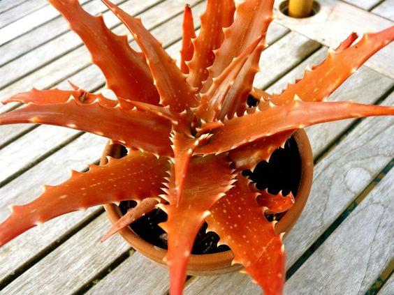 Dorothea (a.k.a.'Sunset') Orange Aloe ... must find this gorgeous little gem!