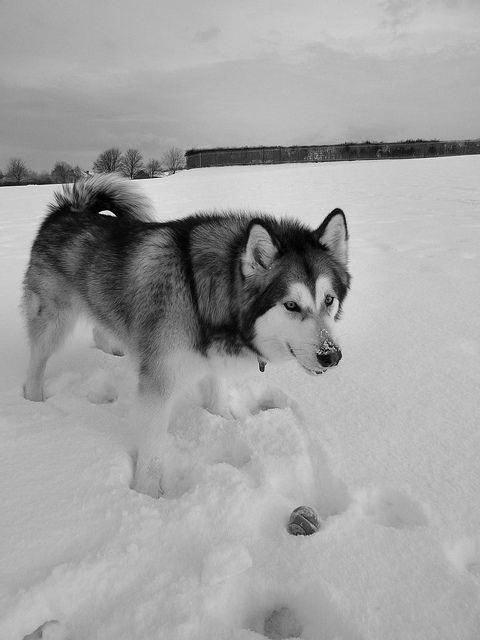 All About Athletic Siberian Husky Dogs And Kids