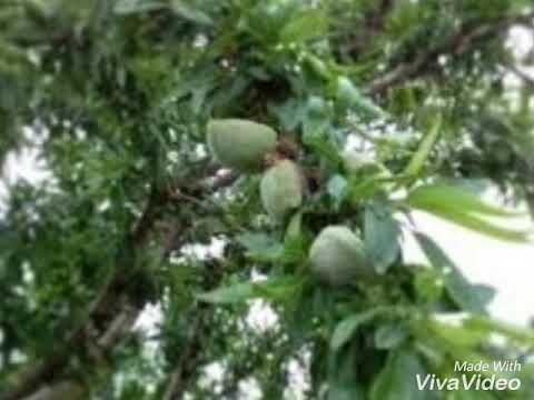 Youtube Agriculture Plants Almond Tree
