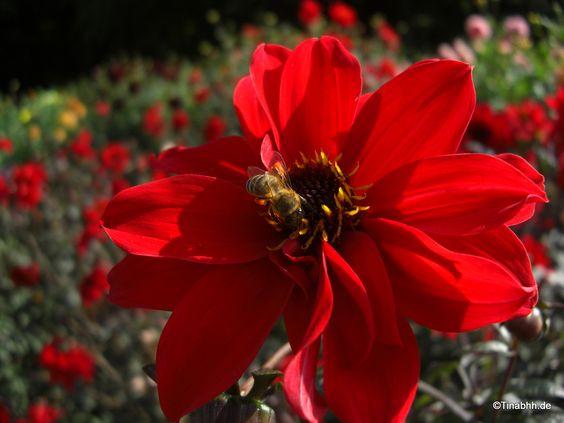 Weekly Photo Challenge: Endurance - Ausdauer - TinasAugenblicke Dahliengarten