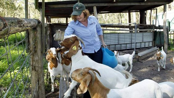 #goatvet likes this photo of Boer goats in New SOuth Wales, Australia waiting to get fed