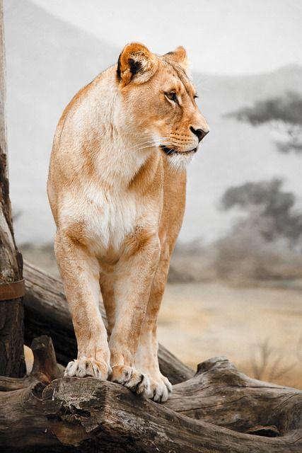 Kostenloses Bild auf Pixabay - Afrika, Tier, Groß, Fleischfresser