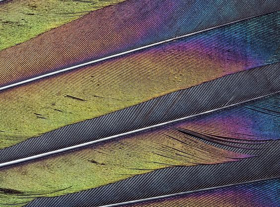 Magpie tail feathers: Magpie Feathers, Fabulous Feathers, Tail Feathers, Magpie Tail, Steven Murray, Feathers Today, Feathers Yahoo