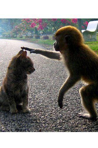 Unlikely animal friendships - monkey and kitten (hva):