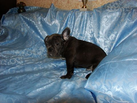 French Bulldog Puppy For Sale In Tryon Nc Adn 66650 On Puppyfinder Com Gender Male Age 14 Weeks O Bulldog Puppies For Sale French Bulldog Puppies For Sale