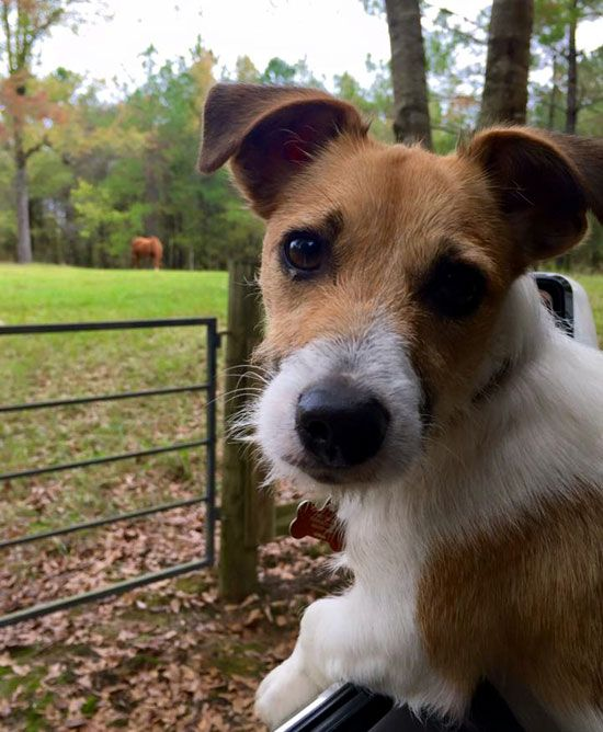 Choice Jack Russell Terrier Photo: