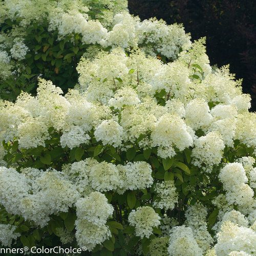 bobo panicle hydrangea hydrangea paniculata trees. Black Bedroom Furniture Sets. Home Design Ideas