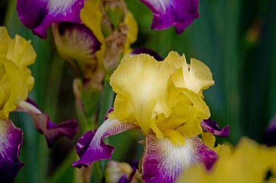 Schreiner's Iris | Schreiner's Iris Gardens | Two