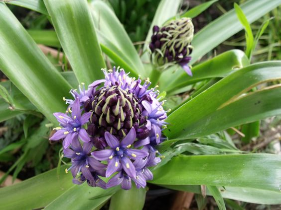 Scilla peruviana - thought I'd lost these a couple of years back, but here they are flowering - yay!