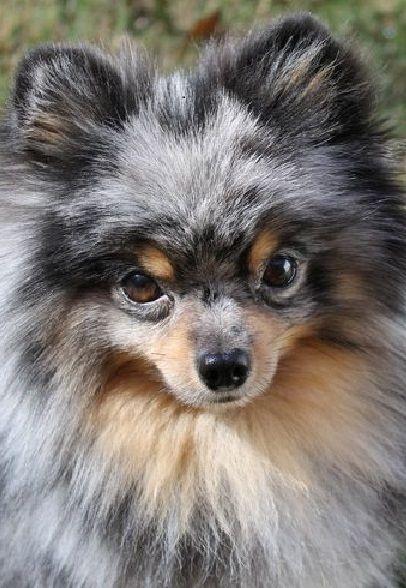 Blue Merle Pomeranian | ♥ my poms | Pinterest | Galleries ...