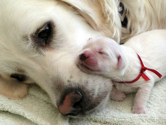 White-Labra-Dog-And-Puppy.