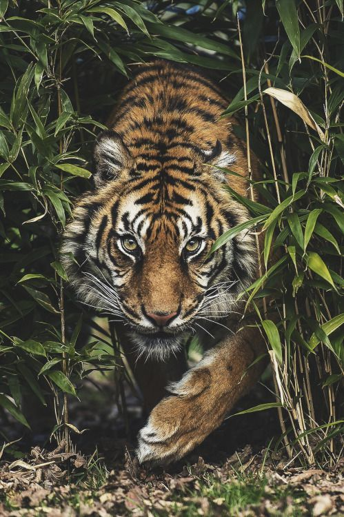 Pin By Ellie Hornberger On Sustained Investigation Tiger Pictures Animals Beautiful Animals Wild