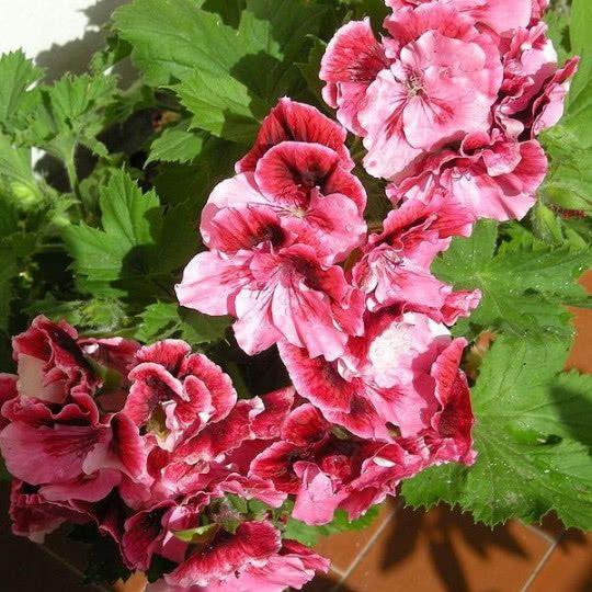 Pelargonia Wielkokwiatowa Fot Velq1958 Wikimedia Commons Cc Pelargonium Geraniums House Plants