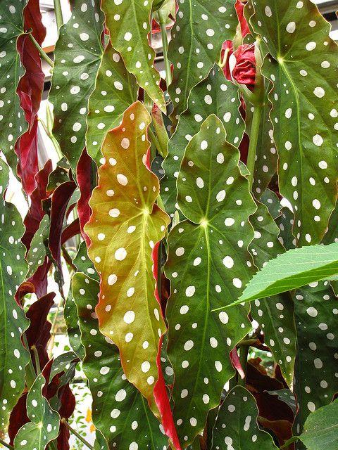 begonia by knotman, via Flickr: