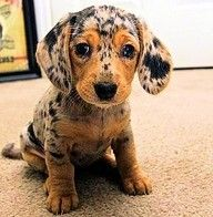 Dapple Apple Dachsund. Oh my goodness, this is the most beautiful dachshund. I think it's still a puppy?