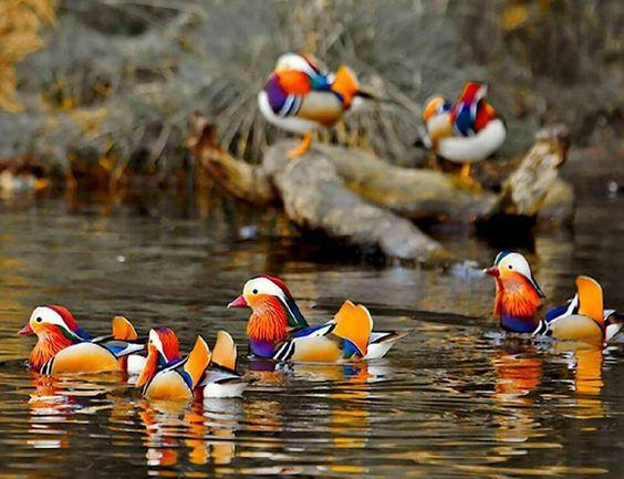 Mandarin Ducks, native to China