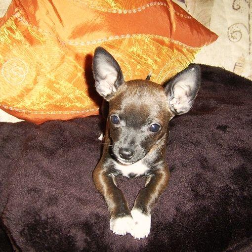 Chihuahua-Pinscher Chipi Da war ich noch klein, heute bin ich schon 3…   #Hund: Chipi / #Rasse: Chihuahua-Pinscher      Mehr Fotos: https://magazin.dogs-2-love.com/foto/chihuahua-pinscher-chipi/ Foto, Hund, Welpen