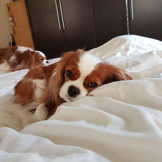 Ahhh the best spot at home!! #blenheimcavalier #cavaliersofinstagram #cavalierkingcharles #cavaliers #cavalierkingcharlesspaniel #ckcs #cavalierpuppies #dogsofinstagram #instadog #lucidityscavaliers #cavlife #cavlover #ilovemydog