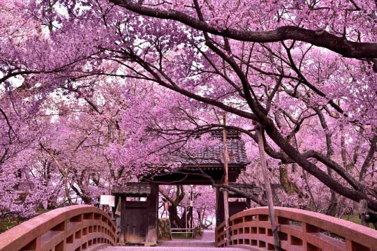485:「高遠城址公園に毎年行きます。何度訪れても素晴らしい桜の名所です。」@高遠城址公園