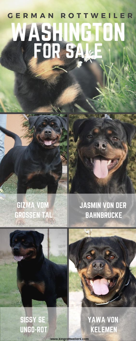 We Are A Trusted Breeder Of German Rottweilers For Sale In