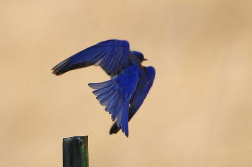 Eastern bluebird in flight - photo#20