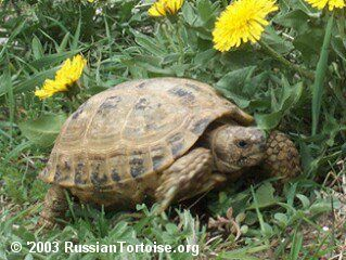 Russian Tortoise care guide website. Great for beginners.