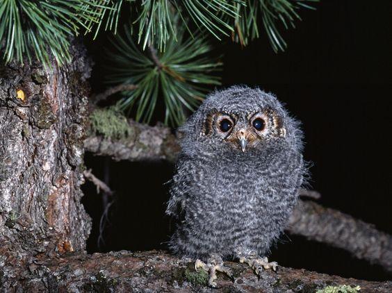 Birds Owls Glance Branches Animals