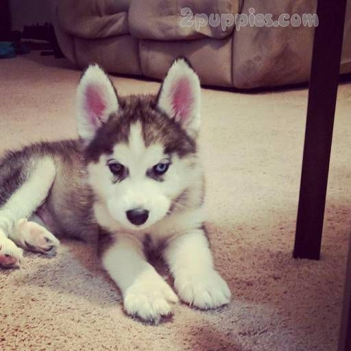 Siberian Husky Dogs For Sale In United States New York Cohoes