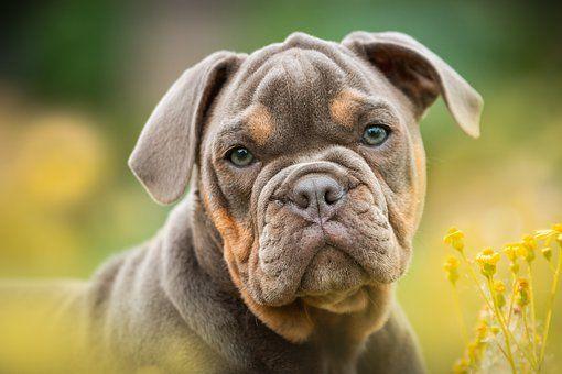 Bulldog Anglais En 2020 Chiots Bouledogues Bouledogues Bouledogue Anglais
