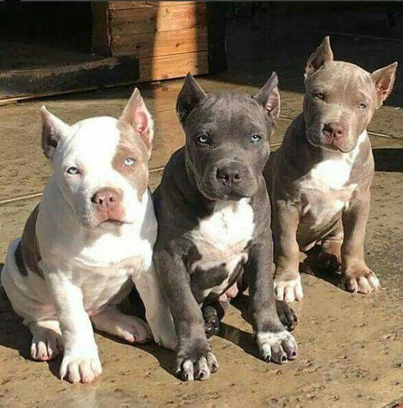 Beautiful Babies Dogs Cute Puppies Pitbull Pictures