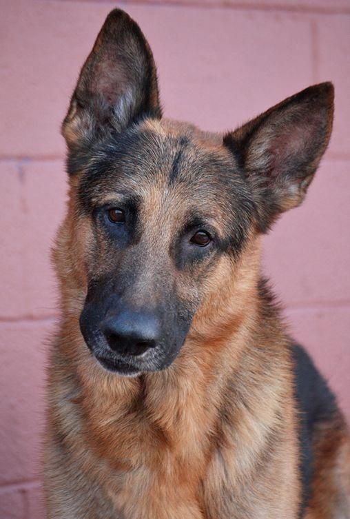 German Shepherd Strong And Loyal With Images German Shepherd Dogs Shepherd Dog German Shepherd