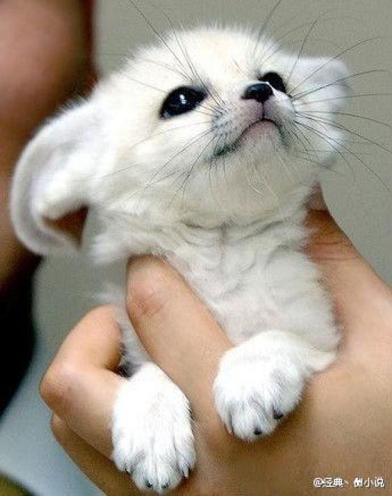 AWWWWW whatever animal this is... AWWW!! : Cute Animal, Fennec Fox, Arctic Fox, Baby Animal, White Fox, Adorable Animal