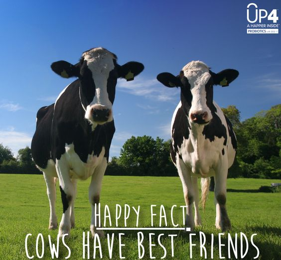 cows have best friends