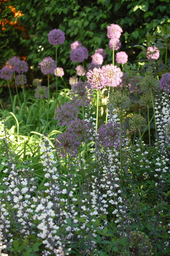 Purple Allium and White False Indigo