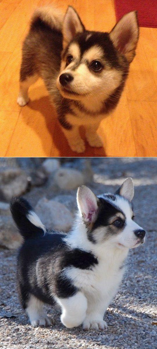 Corgi Husky Mix Puppy Corgi Husky Mix Corgi Husky Baby Animals