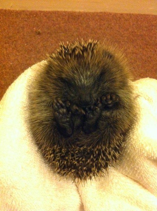 hedgehog:)