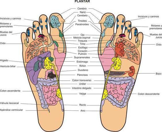 Se denominan «elementos reflejos» o «zonas de reflejo» a todas aquellas partes del cuerpo que tienen una forma definida que se puede hacer asemejar al cuerpo entero: las manos, los pies, las orejas, el rostro, el cráneo, la cara y el raquis 1 etc.  Aunque quizás la más extendida se trata de la que estimula los pies, la Reflexología Podal